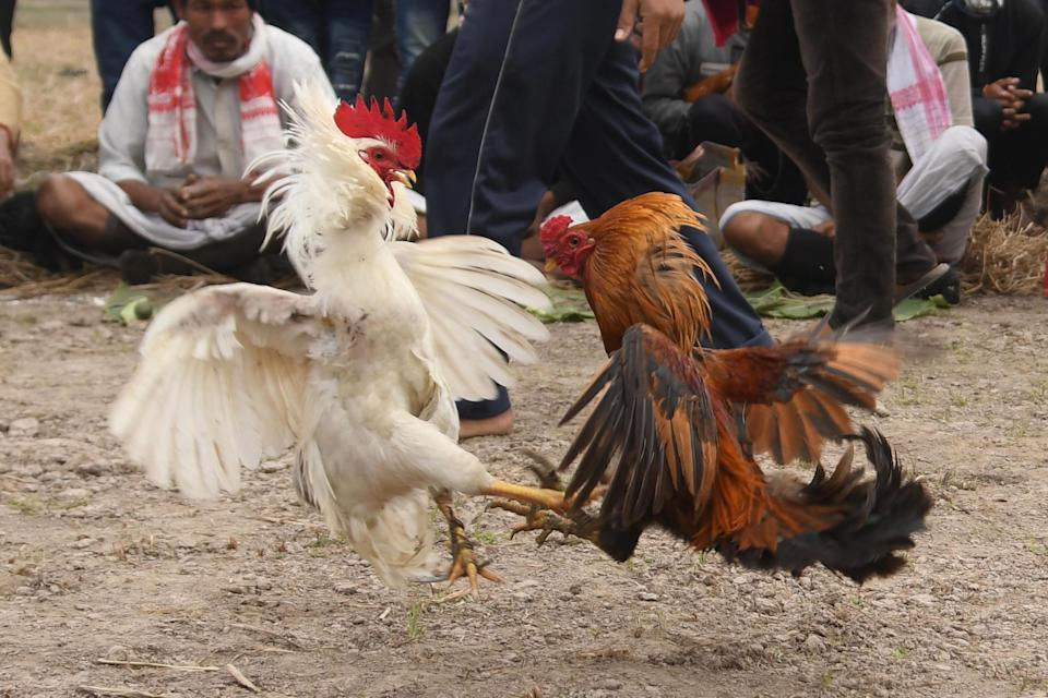 Roosters attack each other during a cockfight as part of Udpur festival near Dharamtul in Morigaon District of Assam , India on Jan 19,2021 (Photo: Getty)