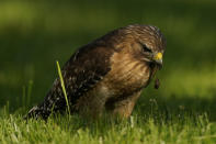 A red-shouldered hawk drops a squirming cicada nymph as it feeds in a lawn, Monday, May 17, 2021, in Columbia, Md. (AP Photo/Carolyn Kaster)