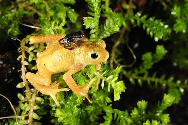 Once-Extinct Toads Reintroduced to Wild