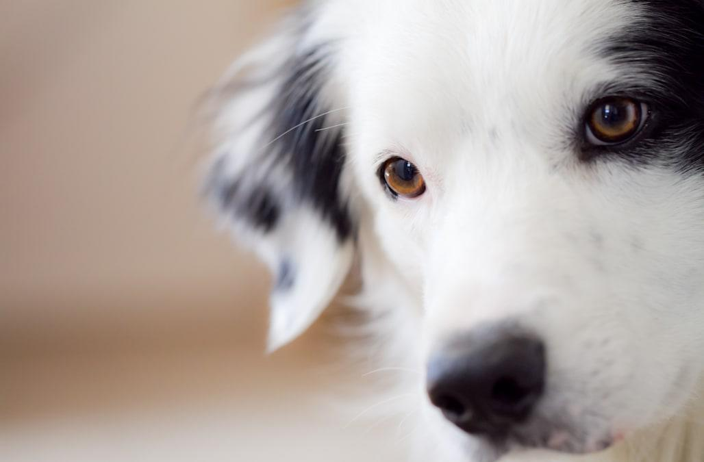 Close up of black and white dog listening with ears perked up