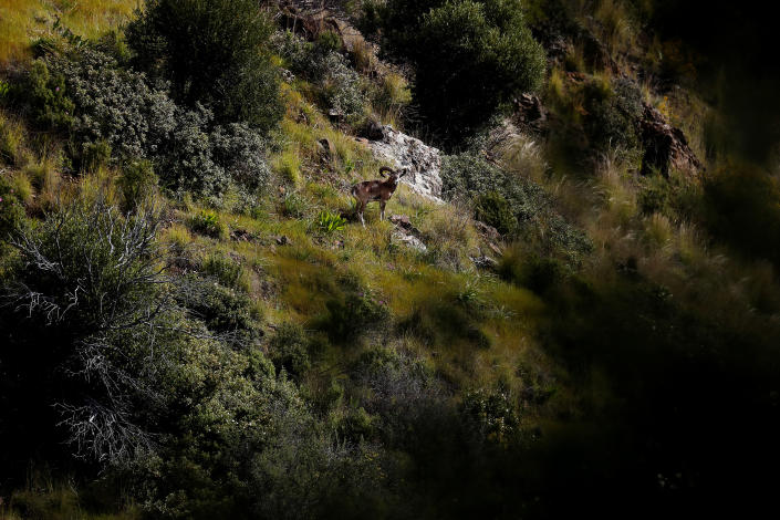 An endangered Mouflon sheep stands in the forest near the abandoned village of Varisia, inside the U.N controlled buffer zone that divide the Greek, south, and the Turkish, north, Cypriot areas since the 1974 Turkish invasion, Cyprus, on Friday, March 26, 2021. Cyprus' endangered Mouflon sheep is one of many rare plant and animal species that have flourished a inside U.N. buffer zone that cuts across the ethnically cleaved Mediterranean island nation. Devoid of humans since a 1974 war that spawned the country's division, this no-man's land has become an unofficial wildlife reserve. (AP Photo/Petros Karadjias)