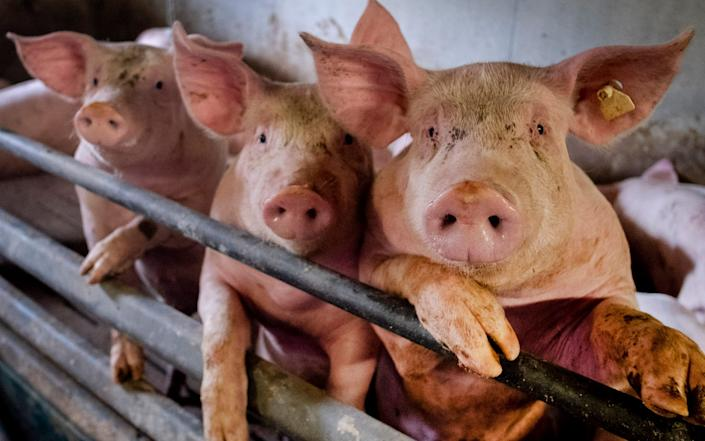 Experts fear the virus could jump from pigs to humans - AP