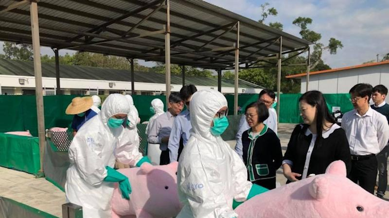 Stuffed pigs used in drill to instruct Hong Kong agricultural officials in how to cull sick animals in event of African swine fever outbreak