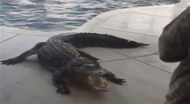 The three-metre alligator took a dip in a Florida pool. Picture: Laura Lear