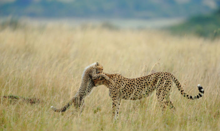 """<b>Viewers' Choice for Nature: Tender Moment</b> <br> Everyday in Mara starts with something new and different and day ends with memorable experiences with spectacular photographs. I was very lucky of sighting and photographing Malaika the name of female Cheetah and her cub. She is well known for its habit to jump on vehicles. She learned that from her mother Kike, and Kike from her mother Amber. Like her mother she is teaching lessons to her cub. Teaching lessons means addition of another moment for tourist. This is one of the tender moments between Malaika and her cub. I was very lucky to capture that moment. <a href=""""http://ngm.nationalgeographic.com/ngm/photo-contest/"""" rel=""""nofollow noopener"""" target=""""_blank"""" data-ylk=""""slk:(Photo and caption by Sanjeev Bhor/National Geographic Photo Contest)"""" class=""""link rapid-noclick-resp"""">(Photo and caption by Sanjeev Bhor/National Geographic Photo Contest)</a>"""