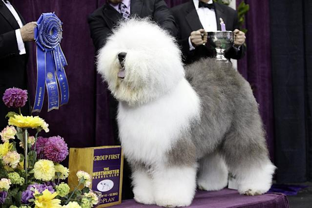 FILE - In this Feb. 11, 2013 file photo, Swagger, an Old English Sheep Dog, is posed for photographs after winning the herding group during the Westminster Kennel Club dog show at Madison Square Garden in New York. Swagger is a contender for the best in show during the 138th Westminster Kennel Club dog show. (AP Photo/Frank Franklin II, File)
