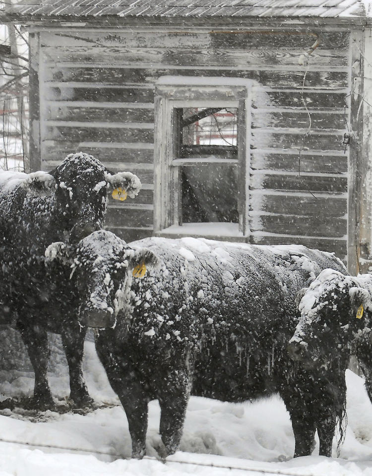 A small herd of Angus cows finds protection from the harsh elements behind an old building on Tuesday, Dec. 20, 2011, in a corral south of Ellis, Kansas. A winter storm dumped several inches of snow in parts of western Kansas strong winds created blizzard conditions in many areas. (AP Photo/The Hays Daily News, Steven Hausler)