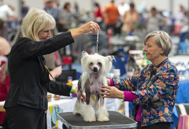 <p>Jury member Gisa Schicker, right, judges a Chinese Crested dog during an international dog and cat exhibition in Erfurt, Germany, June 16, 2018. (Photo: Jens Meyer/AP) </p>