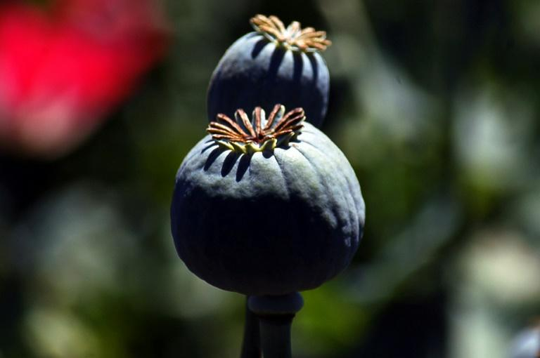 Myanmar's opium poppy fields are shrinking