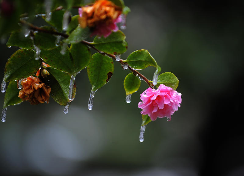 Icicles hang off a camellia bush in historic Forsyth Park after freezing rain hit the area, Wednesday, Jan. 29, 2014, in Savannah, Ga. A winter storm brought snow, ice and brutal cold to the Deep South, a part of the country more accustomed to hurricanes. (AP Photo/Stephen B. Morton)