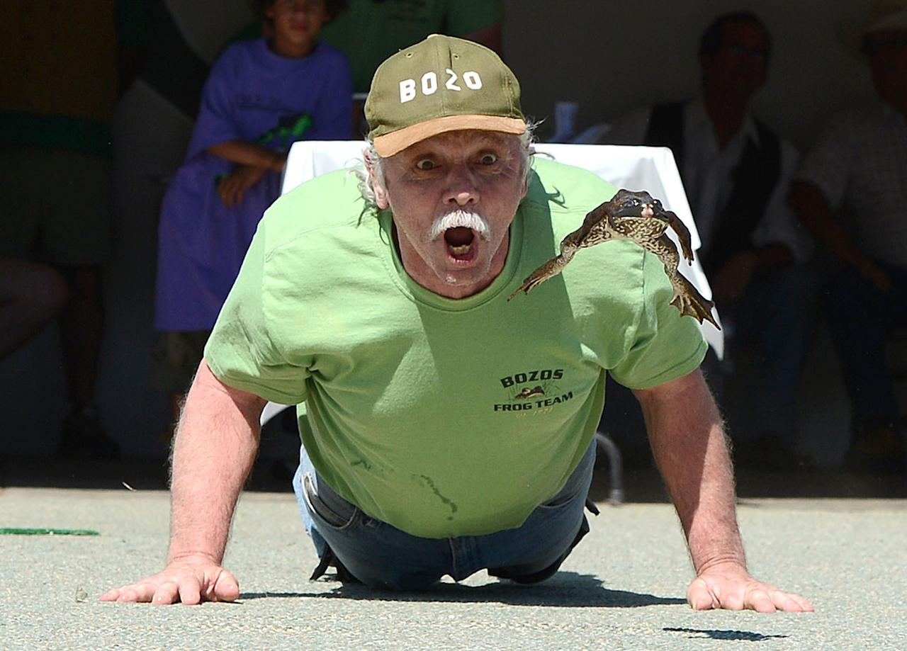 """Brent Bloom urges on his frog """"Jumping Bob"""" at the Jumping Frog Jubilee Sunday, May 20, 2012 in Calaveras County, Calif. (AP Photo/Chris Weeks)"""