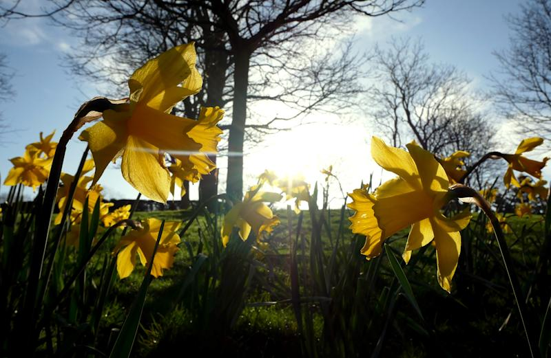 Daffodils bloom in the Arboretum, Nottingham on the second day of Astronomical Spring which began on the day of the Spring Equinox. Photo credit should read: James Warwick/EMPICS Entertainment