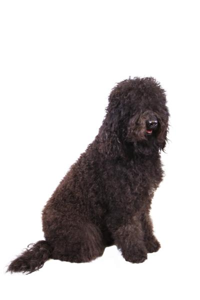 In this Dec. 13, 2013 photo provided by the Westminster Kennel Club is a barbet. The sociable French water dog has made the American Kennel Club's list of recognized breeds. The club announced that the barbet can compete starting Wednesday, Jan. 1, 2020 in traditional, breed-judging shows. (American Kennel Club via AP)