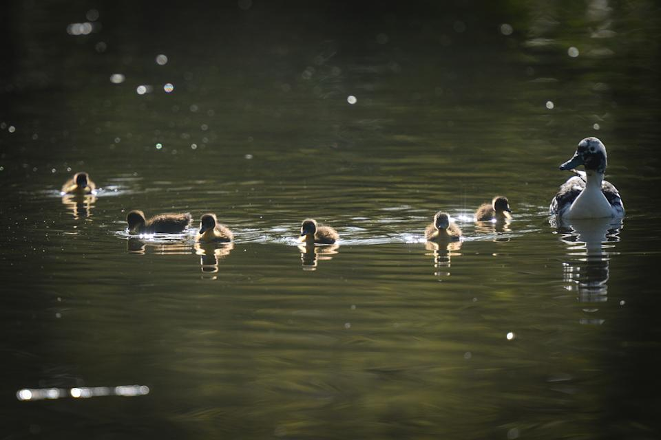 Mallard ducklings with their mother take a swim on the pond in St. Stephen's Green, in Dublin, during the COVID-19 lockdown.  On Tuesday, 13 April 2021, in Dublin, Ireland. (Photo by Artur Widak/NurPhoto via Getty Images)