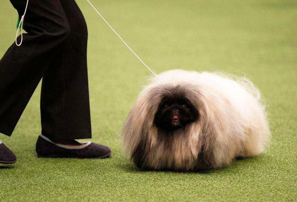 <p>The Pekingese is another dog that was bred to live in palaces. This pup is known for its amazingly fluffy, lion-like mane. While Pekingese dogs make great companions and can live with children, they're not much for roughhousing. </p><p><strong>Weight: 13-14 pounds</strong></p>