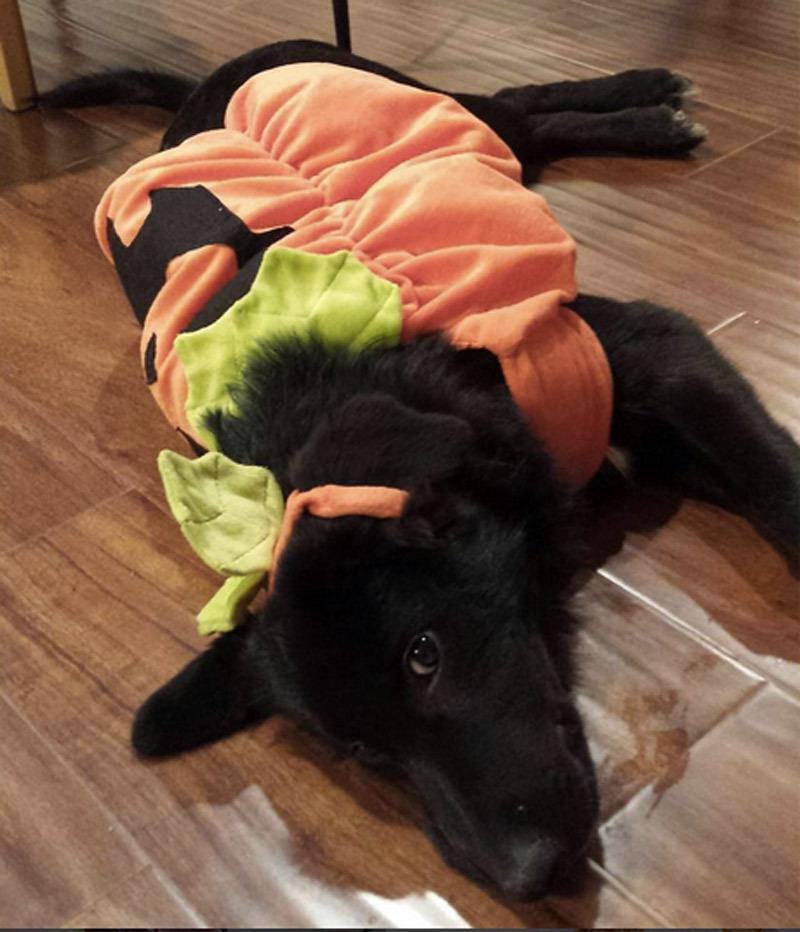 "<p>This costume is perfect for lazy dogs who like to lounge around on Halloween. It's like a snuggy for your dog. <b>Looking for this costume? <a href=""http://yahooshopping.pgpartner.com/plr.php?id=19811"" rel=""nofollow noopener"" target=""_blank"" data-ylk=""slk:Try this"" class=""link rapid-noclick-resp"">Try this</a><a href=""http://www.amazon.com/Forum-Novelties-Pumpkin-Costume-Large/dp/B003OWTSRW/ref=sr_1_1?s=pet-supplies&ie=UTF8&qid=1444238857&sr=1-1&keywords=dog+pumpkin+costume"" rel=""nofollow noopener"" target=""_blank"" data-ylk=""slk:!"" class=""link rapid-noclick-resp"">!</a></b></p><p><i>Photo: Instagram/@leen2389</i></p>"