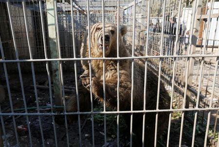 Lola the bear, one of two surviving animals in Mosul's zoo along with Simba the lion, is seen in its cage at Mosul's zoo, Iraq, February 2, 2017. Picture taken February 2, 2017. REUTERS/Muhammad Hamed