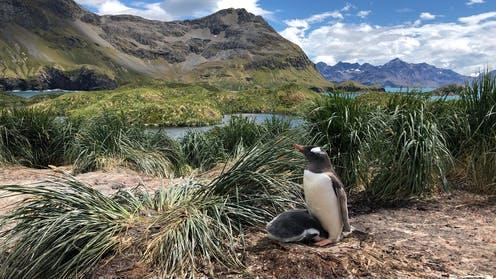 How we discovered three new species of penguin in the Southern Ocean