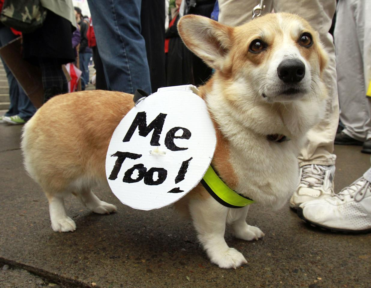 Welsh Corgi Katie carries a sign as several hundred demonstrators rally in Salem, Ore., Monday, Oct. 10, 2011. The demonstration is one of many being held across the country recently in support of the ongoing demonstration in New York.(AP Photo/Don Ryan)