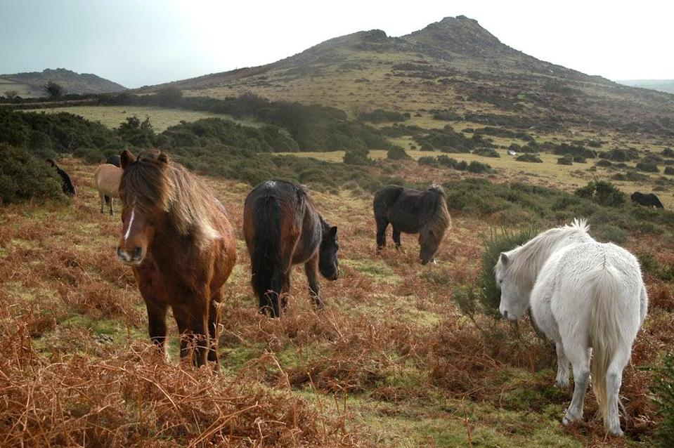 It is illegal to feed Dartmoor's ponies (Getty Images/iStockphoto)