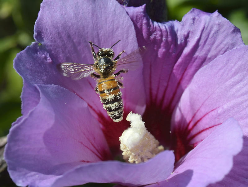 A honey bee packed with pollen lands on a flower in Ludwigsburg, southwestern Germany
