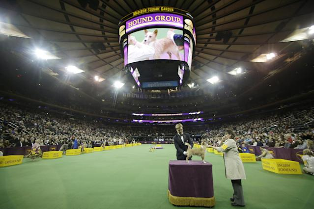 Dogs compete in the Hound group during the 138th Westminster Kennel Club dog show, Monday, Feb. 10, 2014, in New York. Nathan, a bloodhound, won the group. (AP Photo/Frank Franklin II)