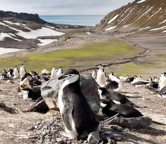 Chinstrap penguins at Baily Head on Antarctica's Deception Island. [<a href=http://www.livescience.com/21033-chinstrap-penguins-antarctica.html>See more chinstrap penguin photos</a>]