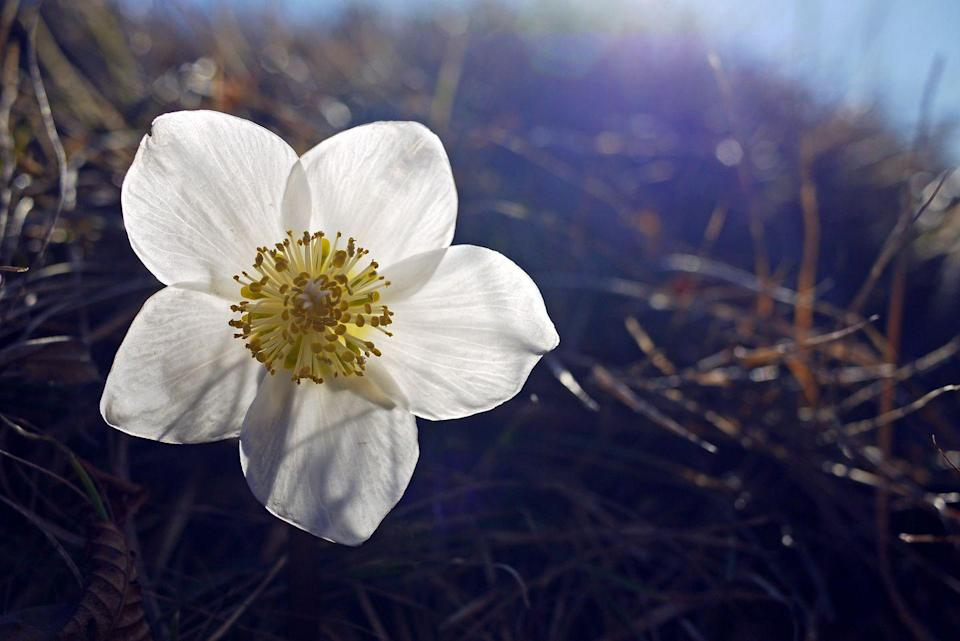 """<p>These pretty wildflowers kind of look like a doodle of a flower, with their perfect five petals and funky stamens. They are commonly called the Christmas rose, because they bloom in winter. </p><p><strong>Bloom season</strong>: Winter</p><p><a class=""""link rapid-noclick-resp"""" href=""""https://www.bluestoneperennials.com/HCOCA.html"""" rel=""""nofollow noopener"""" target=""""_blank"""" data-ylk=""""slk:SHOP HELLEBORES"""">SHOP HELLEBORES</a></p>"""