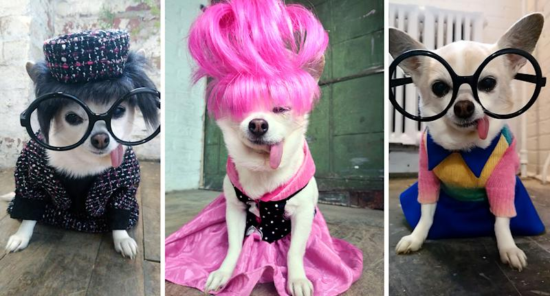 Josie is a 10-year-old Chihuahua that was adopted overweight and with health problems but is now thriving as a fashion model. (Photo: Bonni Burns/Caters News)