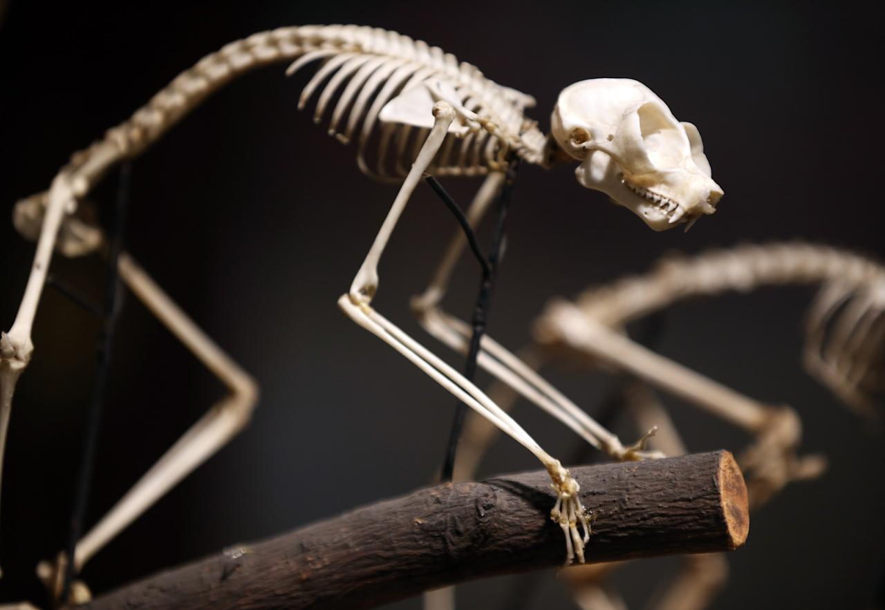 LONDON, ENGLAND - SEPTEMBER 04: The skeleton of a Loris is shown on a tree branch at The Grant Museum of Zoology on September 4, 2012 in London, England. Containing 67,000 specimens, the Grant Museum of Zoology is the only one of it's kind in London. Started as a teaching collection in 1828 the collection displays only about 5% of all the specimens it holds.  (Photo by Peter Macdiarmid/Getty Images)