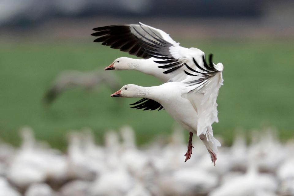 A pair of snow geese land among thousands of others on a field at their winter grounds in the Skagit Valley, near Conway, Washington. (Photo: ASSOCIATED PRESS)