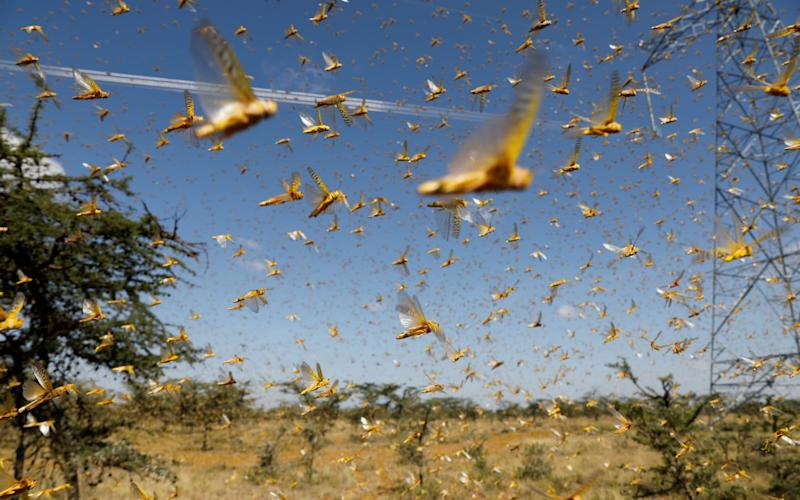 A swarm of desert locusts flies over a ranch near the town of Nanyuki in Laikipia county, Kenya, February 21, 2020. Picture taken February 21, 2020. REUTERS/Baz Ratner/File Photo