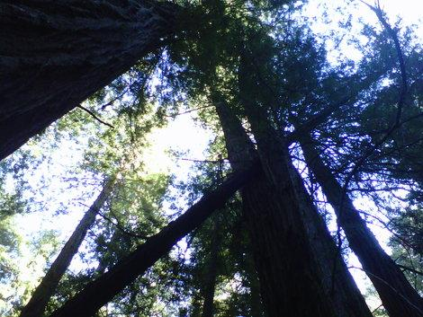 Inside Muir Woods, filtered sunlight through the redwood canopy. (Photo courtesy of Laurie Jo Miller Farr.)
