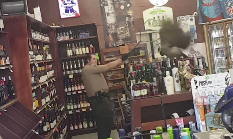 Peacock wreaks havoc inside liquor store, breaks $500 of alcohol