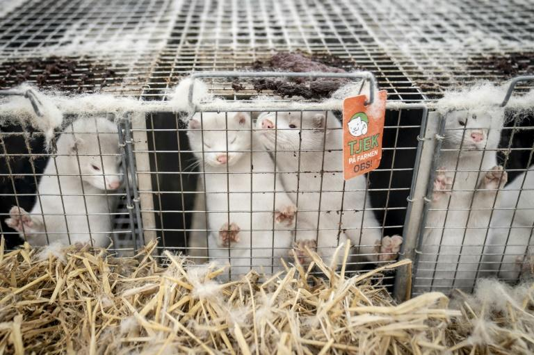 Denmark has ordered the slaughter of all of the country's minks, estimated at up to 17 million