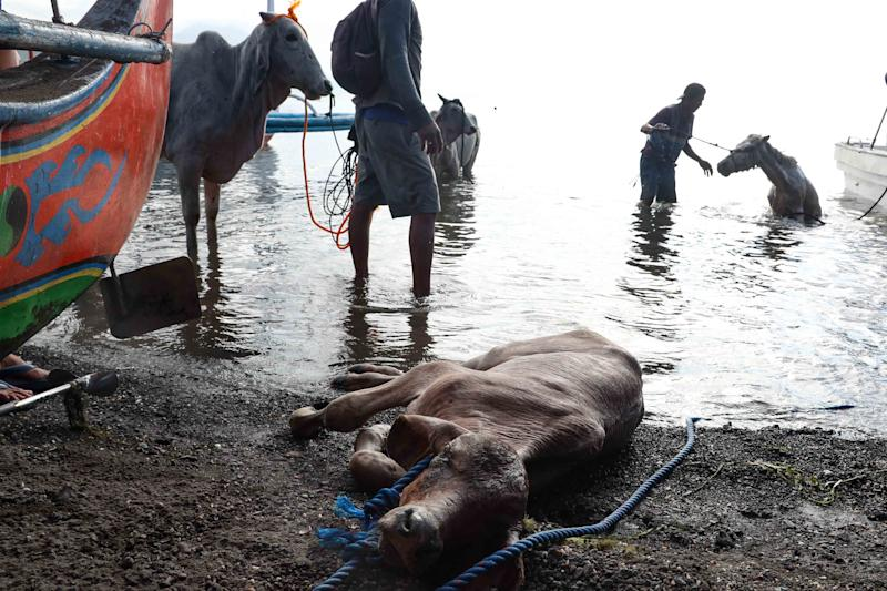 A weakened cow lies by the shore after being rescued from the foot of Taal Volcano Island in Batangas province, south of Manila on January 14, 2020. (Photo: George Calvelo/NurPhoto via Getty Images)
