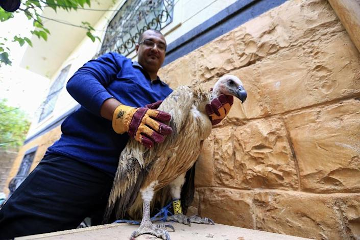 Griffon vulture Nelson was briefly detained by Yemeni fighters suspicious of the satellite transmitter tagged to his wing after he came down in the war-torn country (AFP Photo/Mohammed HUWAIS)