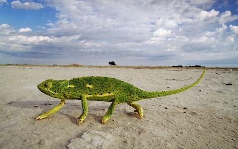 A flap-necked chameleon crosses the Makgadikgadi Pans - Credit: ALAMY