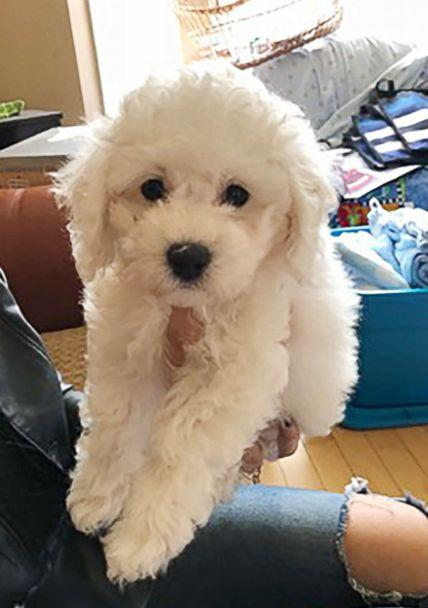 PHOTO: The family got Lumo the puppy from breeder Fern Flett with Bichon Lovers in Ontario. (Jaleen Xuereb)