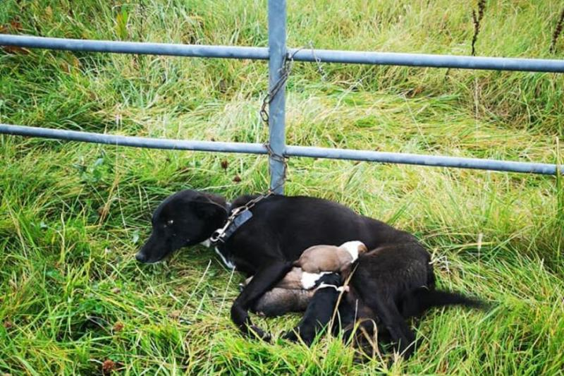 Dog With Six Newborn Pups Found Abandoned and Chained To A Gate