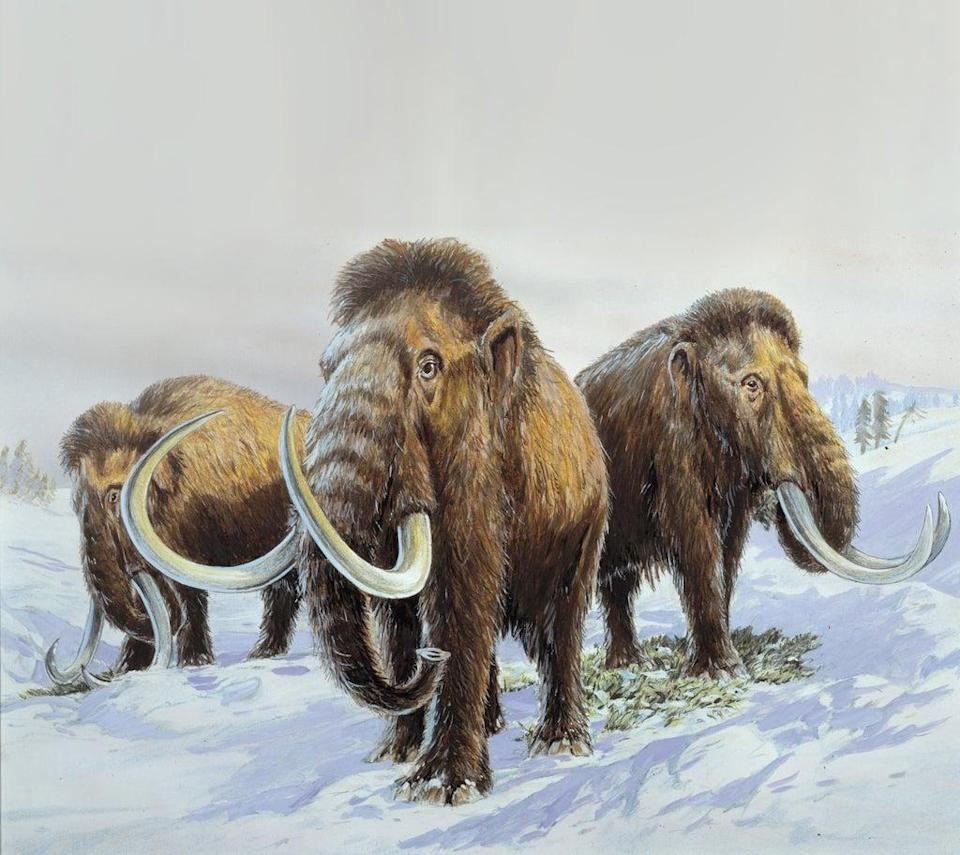 Scientists have hatched a plan to bring woolly mammoths back to the Arctic – ten thousand years after they became extinct (Natural History Museum/Science Photo Library)