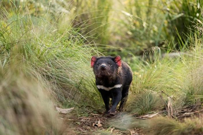 Tasmanian devil populations have been ravaged by a mysterious facial-tumour disease