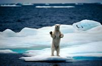 <p>Polar bears are the world's largest land-dwelling carnivores and the largest species of bear overall. Reportedly, the largest polar bear ever recorded was shot in Alaska in 1960 and weighed a whopping 2,209 pounds and stood at 11 feet 1 inch on its hind legs. </p>