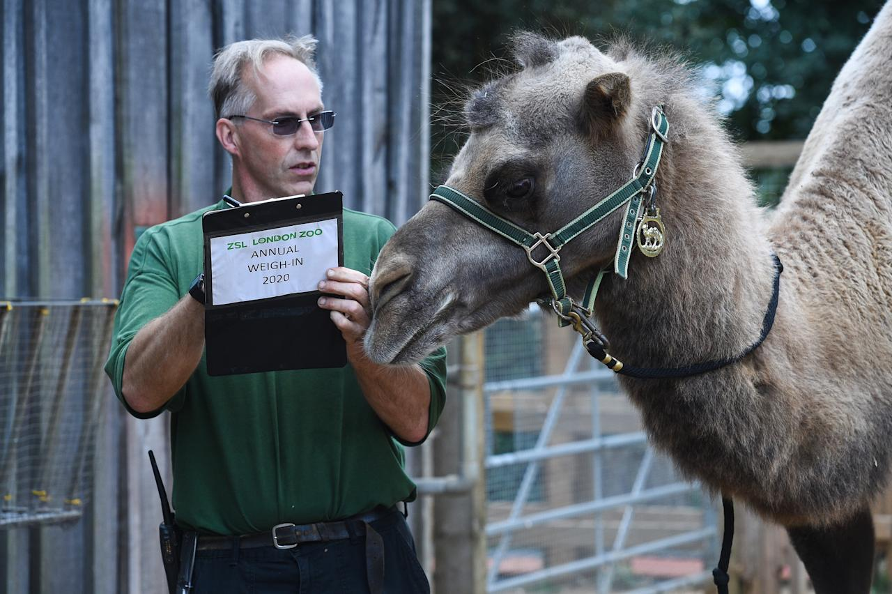 Keeper Mick Tiley weighs Noemie the bactrian camel, during the annual weigh-in at ZSL London Zoo, London.