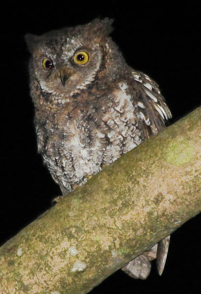 This undated photo taken by independent researcher Philippe Verbelen and released by online scientific journal PLOS ONE shows a Rinjani Scops owl perching on a tree on Lombok island, Indonesia. The new species of owl believed to be found nowhere else in the world was discovered by accident on the Indonesian island when researchers in search of another bird noticed its distinct song. (AP Photo/PLOS ONE, Philippe Verbelen) NO SALES