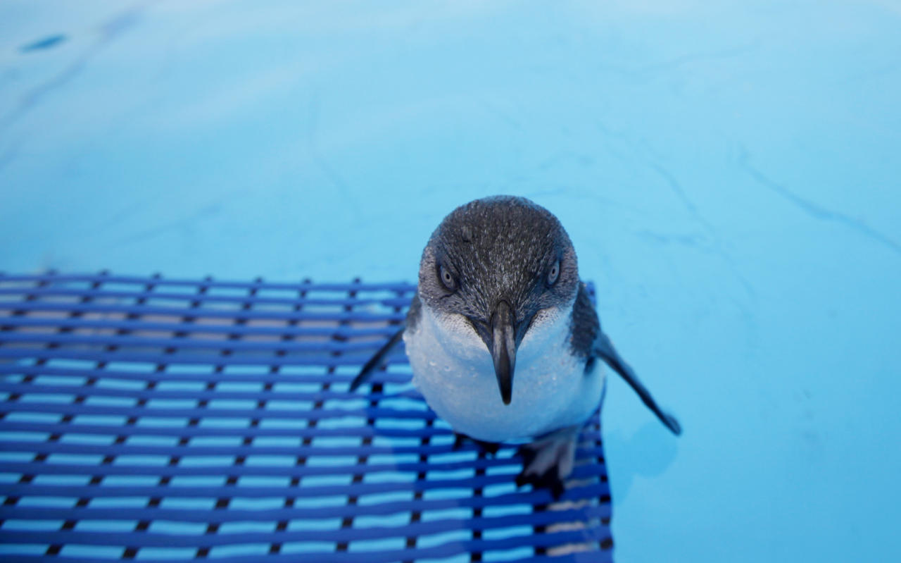 An oiled little blue penguin stands on the pool for recovering at the wildlife facility in Tauranga, New Zealand Tuesday, Oct. 11, 2011. The penguins were rescued from the sea following the Liberia-flagged container ship Rena which ran aground last Wednesday has been leaking fuel. (AP Photo/ Natacha Pisarenko)