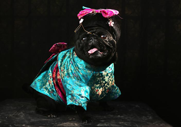 Penny, a Pug, poses as a Geisha at the Tompkins Square Halloween Dog Parade. (Photo by John Moore/Getty Images)