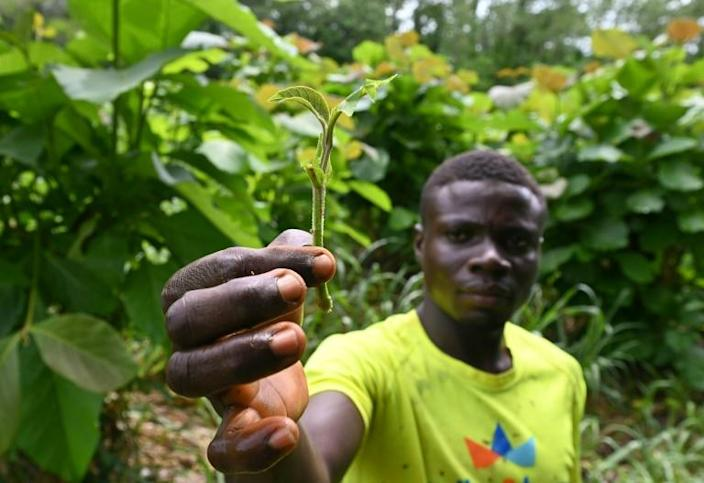 Green future: Seedlings are being grown at nurseries in Tene Forest to help Ivory Coast's desperate fight against deforestation