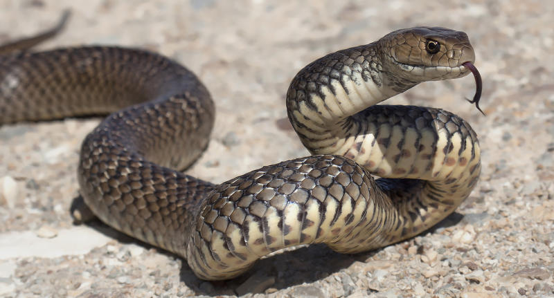 An eastern brown snake, the second most venomous species of land snake in world.