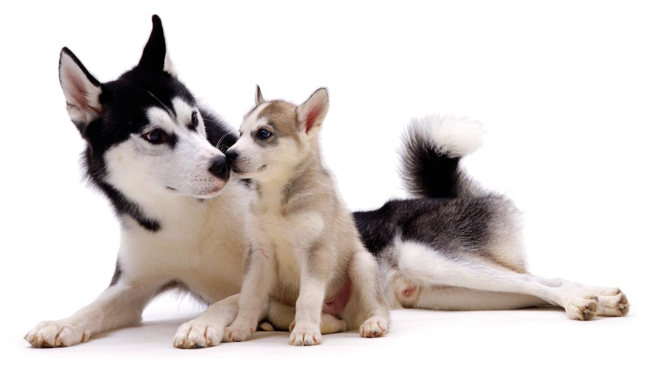 <p>Siberian husky Ash with one of his pups, 7 weeks old. (Warren Photographic/Mercury Press) </p>